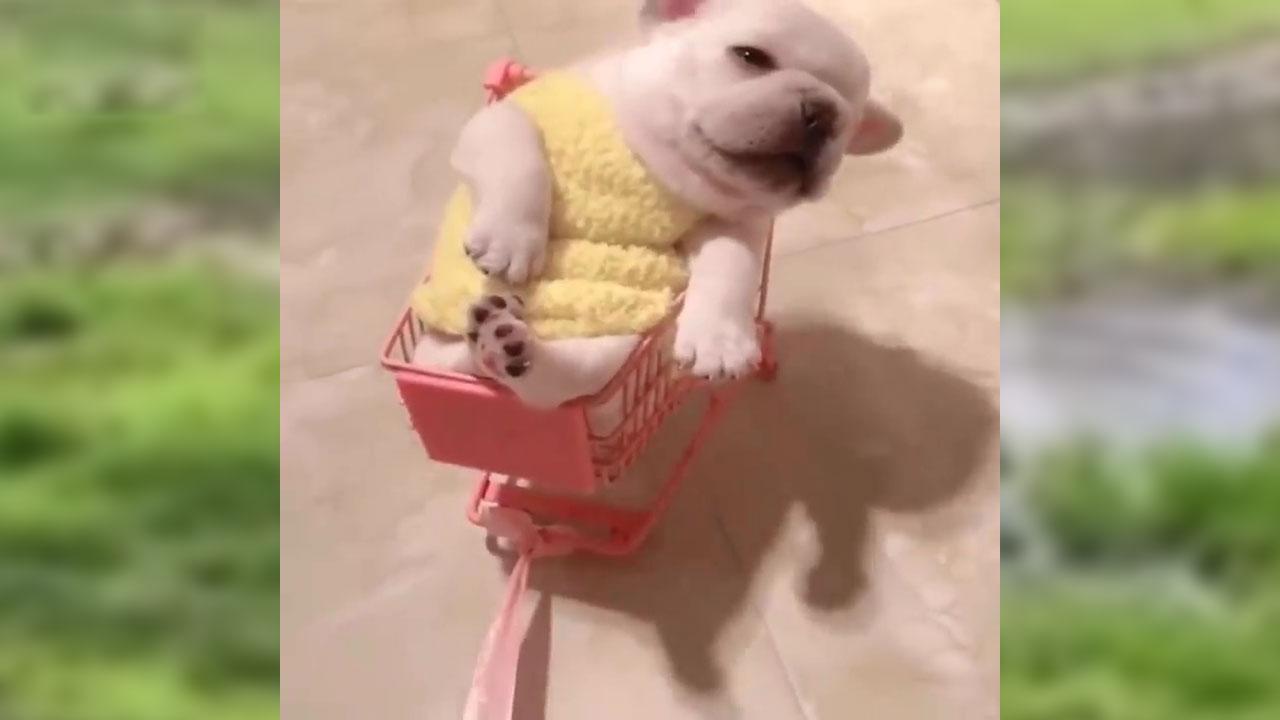 Video Baby Dogs Cute and Funny Dog Videos Compilation ❤️ Động vật vui nhộn ❤️ Thú cưng đáng yêu