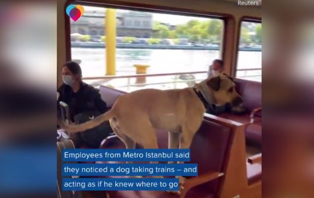 This Dog Travels Around His City Alone On Public Transportation
